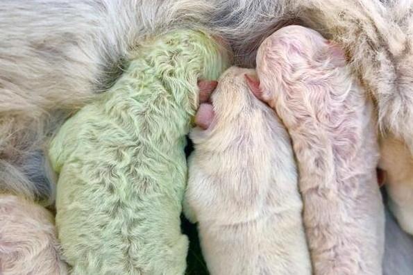 Sorprende el nacimiento de un perrito con pelo verde
